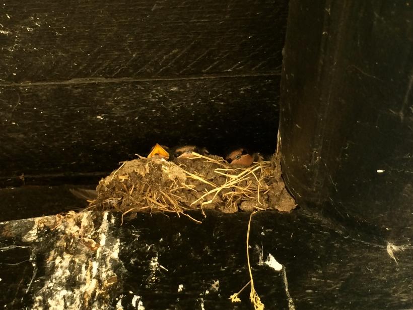 baby swallows--look at those eyes!