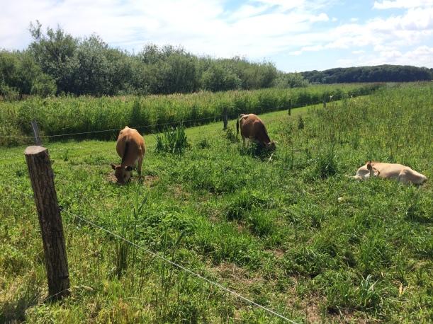 Pretty cows!